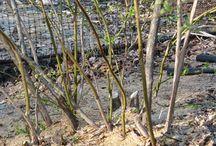 Garden - edible hedge