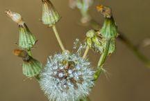 Dandelions and seedheads