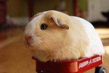 guinea pigs!!!!!