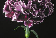 Carnation /Dianthus