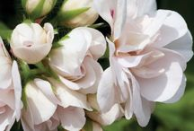 "Gardening; Pelargonium,Geraniaceae,Erodium  / In Sweden,the national addiction to  pelargoniums is known as pelargonsjukan,(transl. ""pelargonic disease."")"