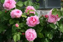 My Austin roses / Photos of my Austin roses