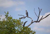  BIRDING @ CAMPJABULANI   / Bird species seen at Camp Jabulani