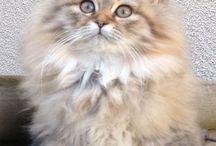British Long hair  cats