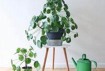 Stueplanter og pasning