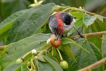 Manfaat Buah Kersen atau Talok Untuk Membantu Burung Kicau Cepat Gacor