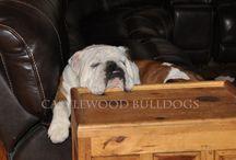 Bulldogs of Castlewood / www.castlewoodbulldogs.com - Bulldogs | Bulldog Puppies| Bulldog Breeders | English Bulldogs | English Bulldog Puppies | English Bulldog Breeders