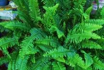 beautiful lush green ferns / by Jeanne Scottie mom