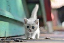 kiscicák