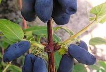 Кусты ягод