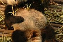 China#Panda#熊猫
