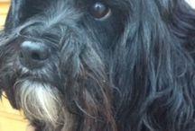 Darcy / Tibetan terrier