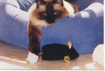 Ragdoll Cat Info
