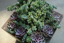 Succulente_Grasse