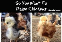 Chickens-Coops & Food-FSM / If you raise chickens I am adding your pins to this board. Raising chickens is a skill.......we all need. / by Linda @ Food Storage Moms