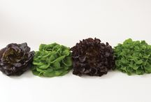 """Salanova® Lettuce / Salanova(R) is available in two types: incised and cored. Incised types add great flavor and will increase the loft and weight of a salad mix. Cored types offer superior color, flavor, and uniform shape. Both types' leaves are removed from the core using a """"one-cut"""" method; whether using a knife or the patented cutter tool."""
