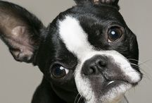 Boston Terrier / My #3 favorite dog breed so farr! I want em !
