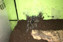 Mis tarantulas / Mi colección de tarantulas