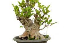 Bahan Bonsai / Semua tanaman dalam board ini bisa dikirim keseluruh Indonesia, silahkan order ya, tel: 0341-599399 I SMS center: 08569020300 atau kunjungi website kami www.kebunbibit.id