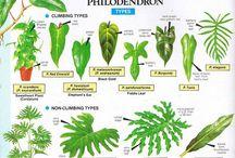 szoba növény