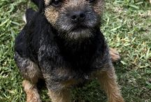 Terriers / Pics of terrier dogs