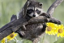 Raccoon Obsession / by Dana McCormick