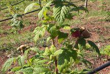 Dolcezze di bosco... / Parole e non solo sui frutti di bosco, passeggiate e scoperte in un mondo ricco di salute e sapori. Composte, dolci, ricette ed erboristica.