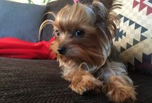 Elsa the mini yorkie / My fur baby Elsa