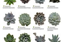 Culture des succulents