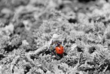 Lady Bugs Coccinelle  Kapoentjes
