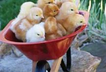Poultry!
