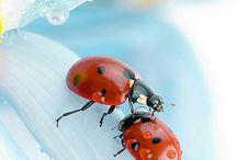 Lady bug/Uğur böceği