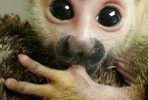 Μαϊμουδακι
