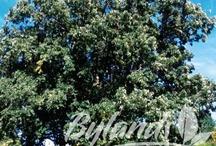 Trees Q - Z / Photos and brief descriptions of trees using scientific nomenclature by Genus.