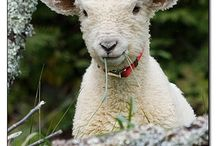 Images of Sheep, Lambs & Goats / by Leslie Greene
