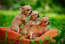 Love my Chihuahuas