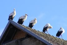 ΠΕΛΑΡΓΟΙ, ΜΑΡΑΜΠΟΥ Κ.Λ.Π / Οι πελαργοί,κοινώς λέλεκες ή λελέκια, είναι μεγάλα πουλιά με μακρυά πόδια και μακρύ λαιμό, τα οποία ανήκουν στην οικογένεια των Ciconiidae. Ζουν στις θερμότερες περιοχές του πλανήτη και σε ξηρότερα κλίματα από άλλα παρόμοια πουλιά όπως οι ίβεις. Το μαραμπού ή λεπτόπτιλος είναι γένος μεγάλων τροπικών πτηνών που ανήκει στην τάξη πελαργόμορφα και στην οικογένεια πελαργίδες.Υπάρχουν τρία είδη, που ζουν στην Ινδία, την Αφρική και την Ινδοκίνα.  Βικιπαίδεια   Υψηλότερη κατηγορία ταξινόμησης: Πελαργός