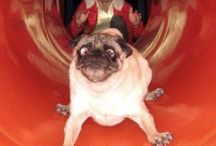 Pugs :) / by Lacey Rajala