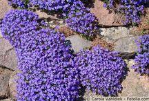 Blumen für trockenmauer