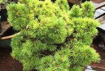 Pinus ponderosa Amerikai sárgafenyő
