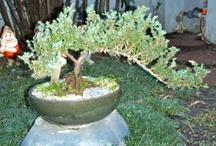 BONSAI / O bonsai é a antiga arte de revelar e honrar a natureza, cultivando-a em miniatura. O bonsai é uma paisagem viva. É a visão do bonsaísta aplicada a uma árvore, arbusto ou planta.  Em japonês, bonsai significa literalmente uma planta em uma bandeja. Isso descreve a complexa relação entre o bonsai e o seu recipiente, porque o recipiente correto contribui para a harmonia visual que o bonsaísta tenta criar. O bonsai capta o verdadeiro espírito e a natureza da árvore dentro de um vaso raso.