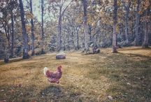 Chicken Keeping / Chickens, Eggs and Farm Kids