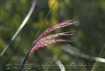 Dewees Island Fall Wildflowers