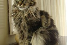 My Maine Coon / Maine Coon