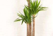 Picadilly - Plant Collection / Plant displays for offices