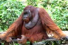 OO Orangutan Images