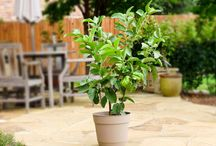 Growing Guava in Pots