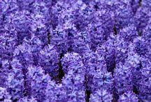 HYACINTHS / Hyacinth Colours
