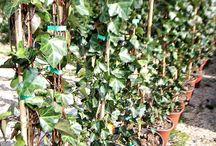 Piante Rampicanti / Vendita Online Piante Rampicanti - Sale Online Climbing Plants
