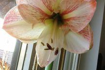 virágaim / szobanövényeim